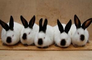 Племенное поголовье Калифорнийских кроликов