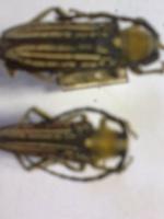 Mallosia herminae
