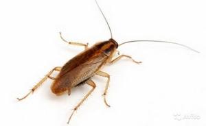 Уничтожение тараканов в Днепродзержинске