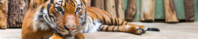 Скинали «Тигр»
