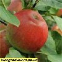 Яблоня Деликатес 110-140 см.