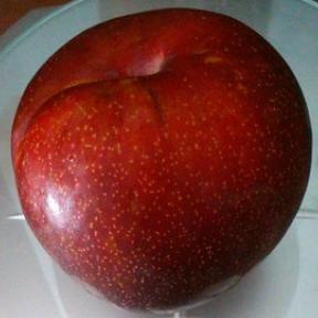 Слива Прайм-Тайм (Prunus salicina PrimeTime) (познего срока созревания)