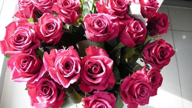 розы сорта «Пурпур»