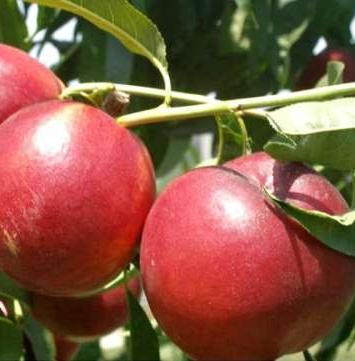 Слива Прайм-Тайм (Prunus salicina PrimeTime)