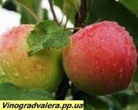 Яблоня Мантет 110-140 см.