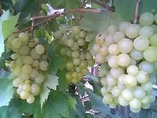 уход и прививка виноградников