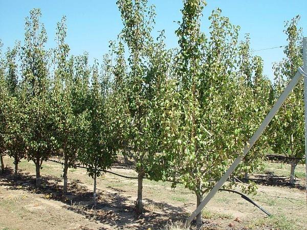 обрезка дерева от 3 до 10лет