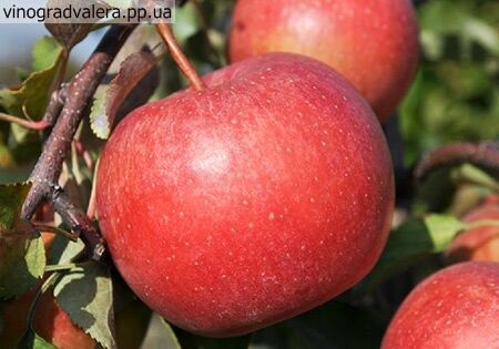 Яблоня Лигол 110-140 см
